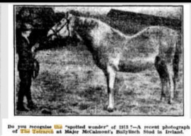 The Tetrarch at stud probably in his 20s. Amazing photo. Found in Australian newspaper.