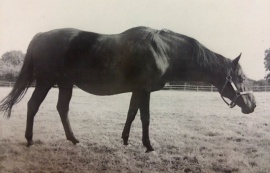 STERNA - at Baronrath Stud - 1976