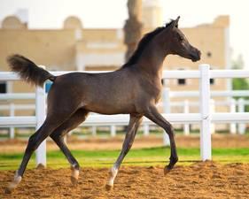 Al Angha Al RayyanAl Jawhara Al Waab