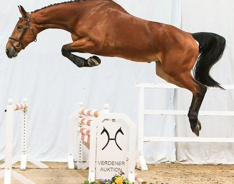 Hannoveraner Free jumping competition live on the Internet