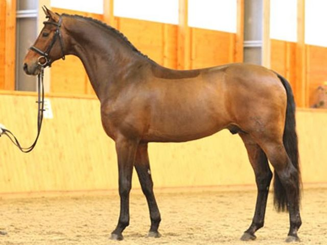 Hanoverian licensed stallion Riccione