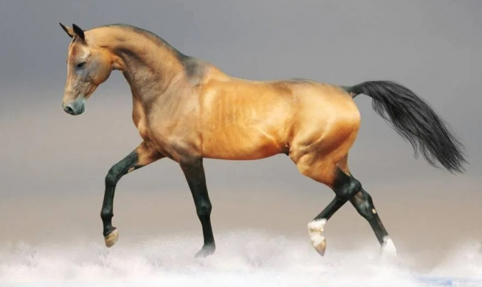 The History of the Akhal-Teke  Horses, Yesterday  And Today