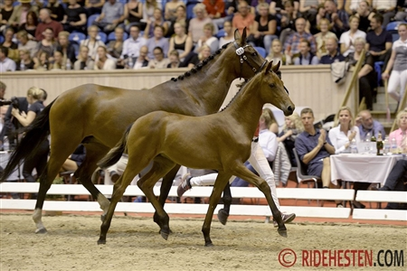 Price highlight of the auction: Dressage filly foal Lissau's Ginger sold for 350,000 DKK to Norway.