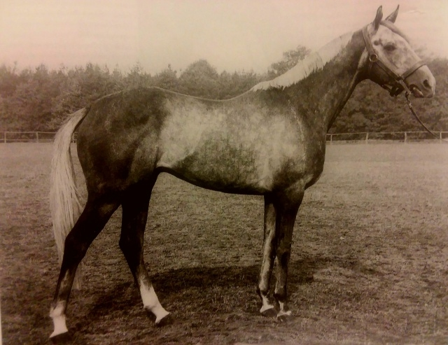 Neuquen 1971 Thoroughbred Stallion