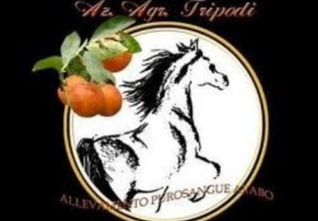 Tripodi Arabians
