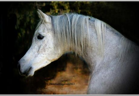 Desert Heritage Arabians