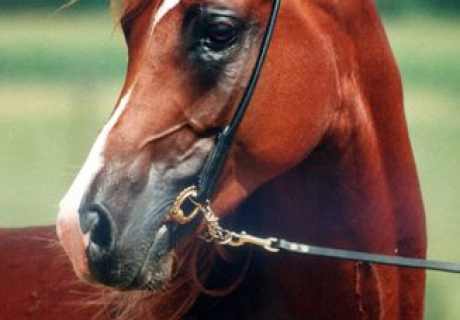 Farag-Arabians