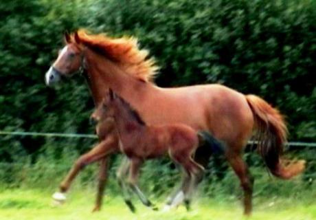 Dearg Sport Horses
