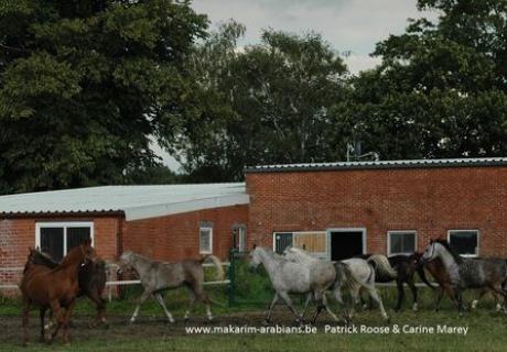 Makarim Arabians