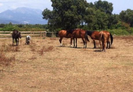 Corsican Arabians