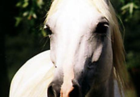 Cottonwood Arabians