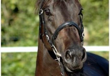 'Pferde-Wilhelmer'