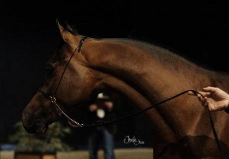 Arayal Arabians