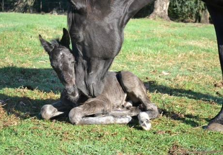 Fircroft Warmblood Sport Horses
