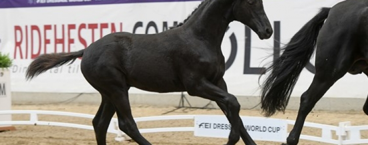 Top priced foals at the DWB World Cup Foal Auction to Blue Hors