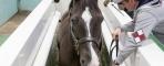 Renowned British dressage horse Valegro uses the Animal Health Trust's water treadmill. © Hartpury University / AHT