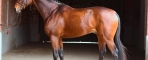 New Thoroughbred approved for Holstein Breed Society