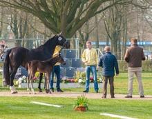 judging hanoverian horses