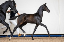 Foal Auction Prinsjesdag Top talents in first online auction