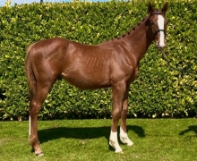 British Bred Yearling Secures Top Price at Bolesworth Elite Yearling Auction