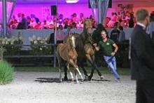 Flanders Foal Auction