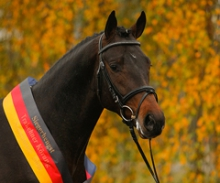 Why the Trakehner is the ideal Sporthorse